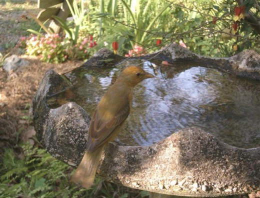 A female Summer Tanager cautiously visits the bird bath.