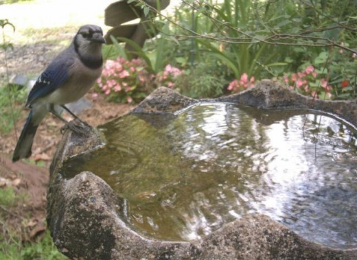 Blue Jay Comes to Bath