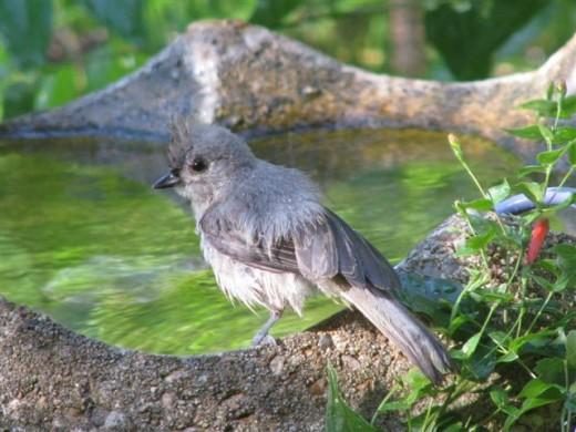 A Tufted Titmouse on the first drip birdbath.