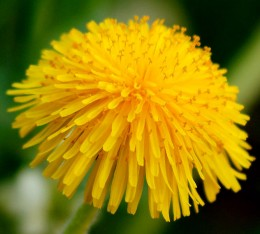 Dandelions are perhaps the most well known of all wild edible and medicinal plants.