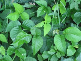 Poison Ivy is one of the most easily recognized plants that is poisonous.