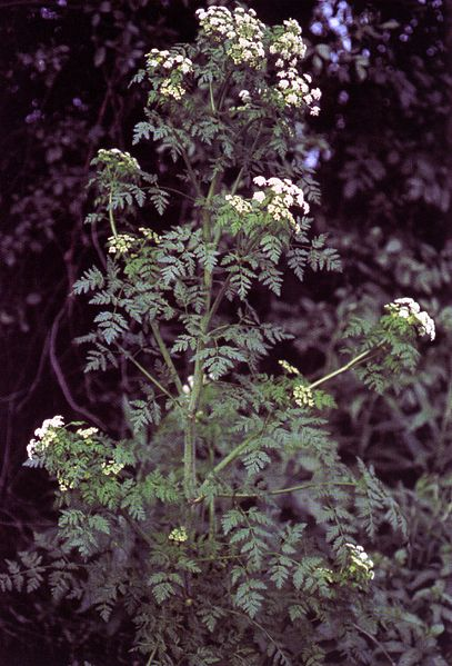 Poison Hemlock is one plant which can be fatal.