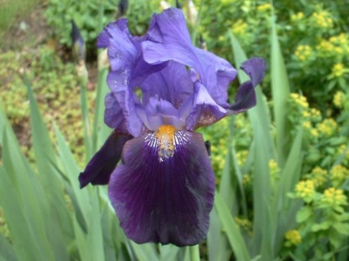 Purple Bearded Iris - photo by timorous