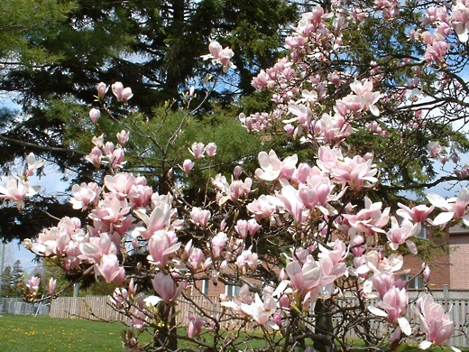 Pink Magnolia - photo by timorous