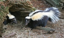 Skunks, look cutem they are intelligent but it is not a good idea to get on the wrong end of a Skunk's defense mechanism. (Picture shows Striped Skunk)