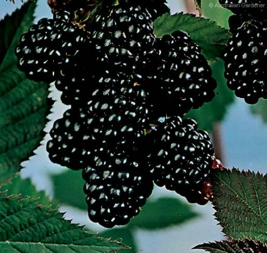 Blackberry makes a superb wine, jam, or even crumble - an abundant fruit found throughout England