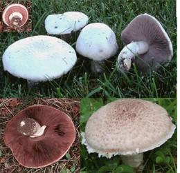 Wild field mushrooms make superb soups