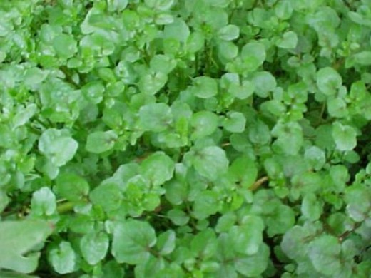 Strong in Iron the watercress provides many wild food delights for the forager