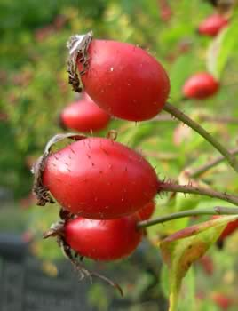 The Rosehip's high in vitamins as well as natural organic antioxidants