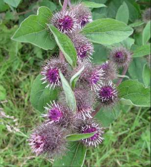 Burdock leaves and roots have a wonderful medicinal use in wild food cooking