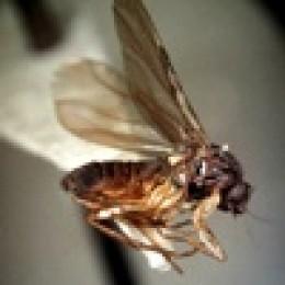 Phoridae (Coffin Flies)