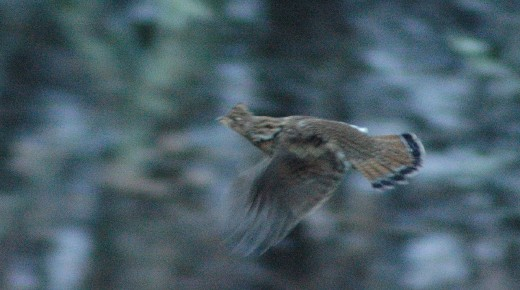 Here is a great image of a Ruffed Grouse in flight