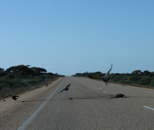 Huge wedgetail eagle swooping on roadkill