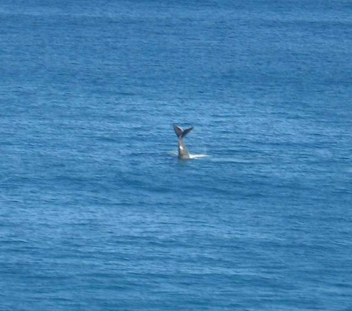 I took lots but this is my best shot of a Southern Right Whale.