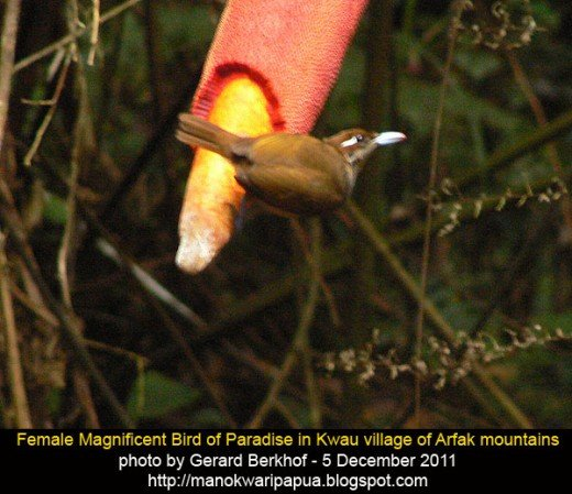 Female magnificent bird of paradise (Cincinnurus Magnificus) in the tropical rainforest of Arfak mountains