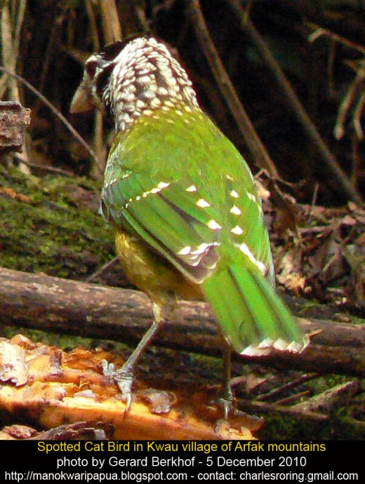 Spotted cat bird was eating banana in the rainforest of Kwau village of Arfak mountains