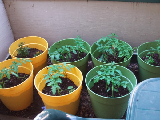 Growing tomatoes is more affordable than having to buy the organic variety at the store.  Even for the price of containers and potting soil, you will still save money over what you would pay for organic tomatoes.