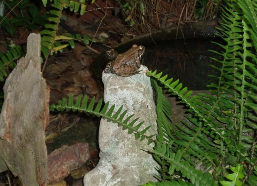 Male and female Bronze frog courting at night.