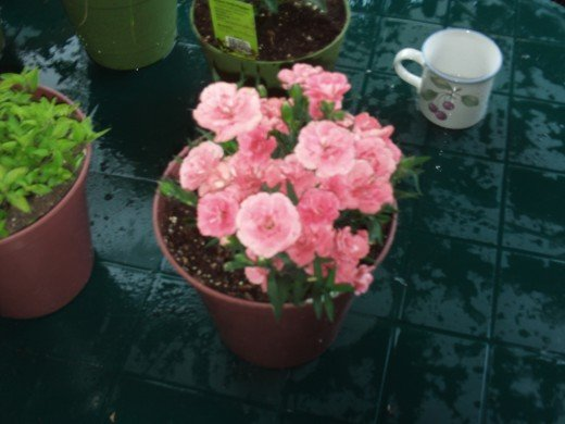 An old coffee cup is perfect for watering small containers of flowers, such as the carnations pictured here.