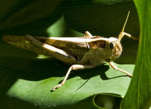 The edible type of locust.