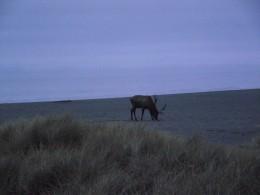 Elk on the beach.