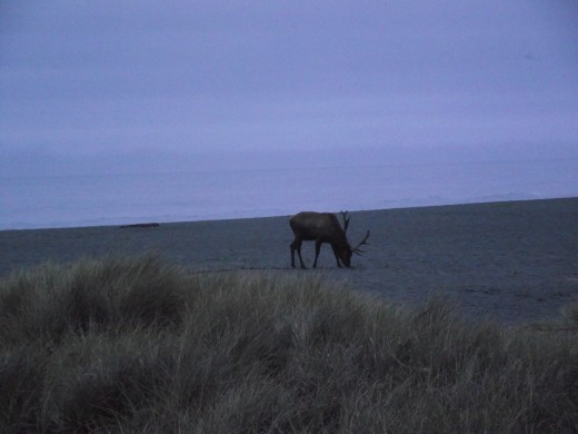 Elk on the beach.