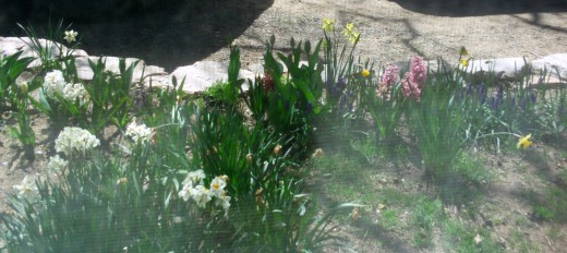 Looking at daffodils and tulips through a screened window.