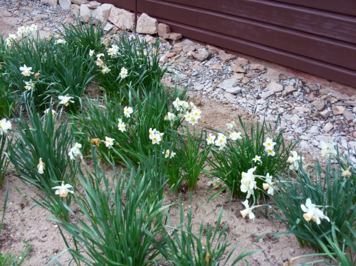 Another picture of the lovely Narcissus daffodils in late April.