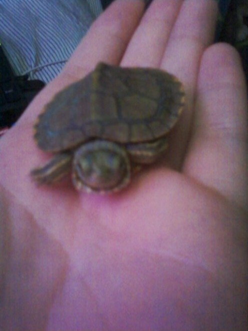 ... care for baby snapping turtles my pet turtle shelly caring for a baby