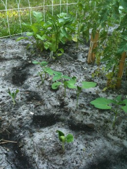Beans and Zucchini (newly germinated) foreground...radishes in the back doing great