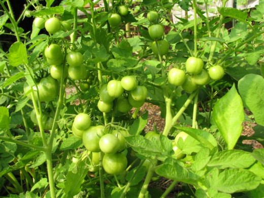 Green Large Cherry Tomatoes.  I've been harvesting them for over a week.