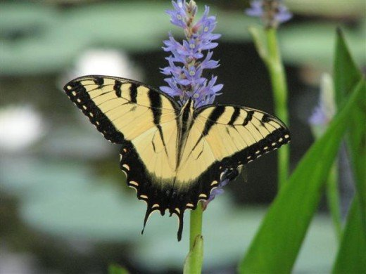 Male Tiger Swallowtail drinking nectar from a native Pickerel Weed Flower.
