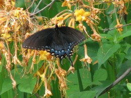 Female Eastern Tiger Swallowtail, black form