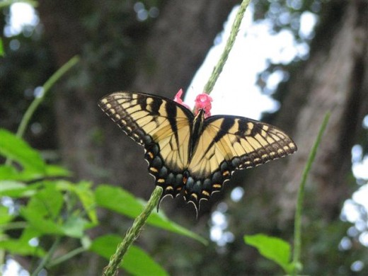 Yellow form of Female Eastern Tiger Swallowtail