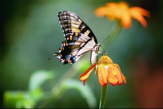 Tiger Swallowtail on one of its favorite flowers, Tithonia.