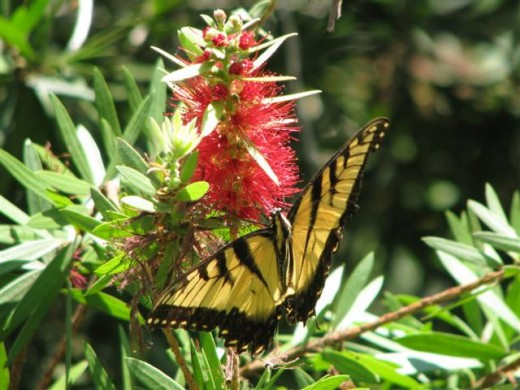Hummingbirds and butterflies use the red flowers of the plant.