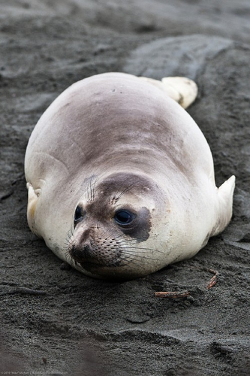 Young Elephant Seal on the coastal beach. Highway 1.