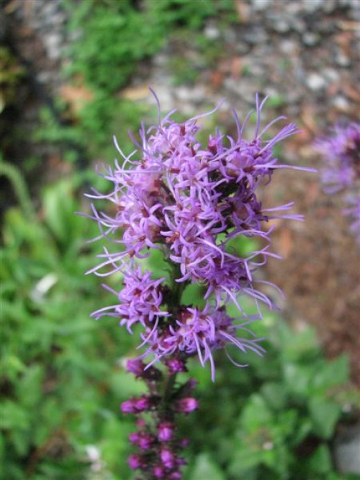 Blazing Star Liatris is a favorite nectar plant of many butterflies.