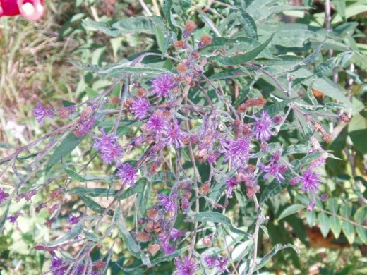 Native Ironweed, Vernonia spp., is a favorite of Swallowtails.