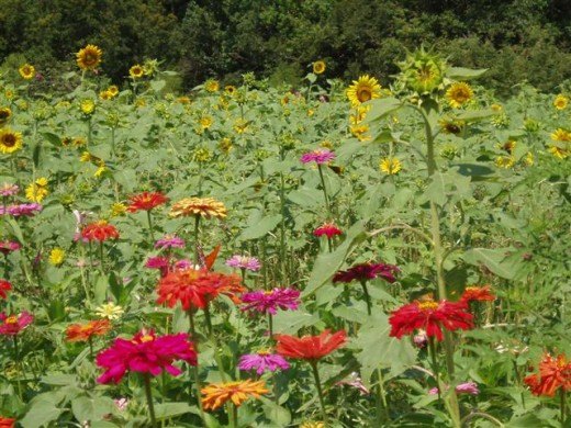 Zinnas and Sunflowers, a paradise for butterflies and birds.