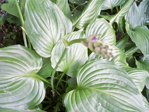 A Deep Shade Hosta