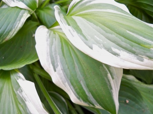 Details on Variegated Hosta Leaves