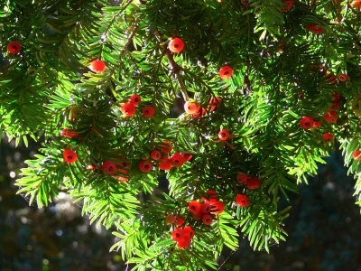 Common Yew  16, slow growing, very hardy, tiny flowers, small red fruit, needs well-draining soil