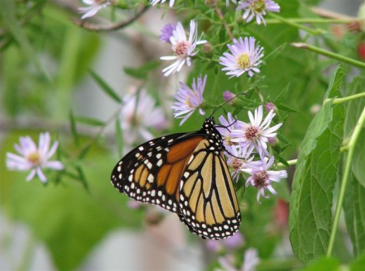 Monarch butterfly drinking from one of its favorite nectar plants.