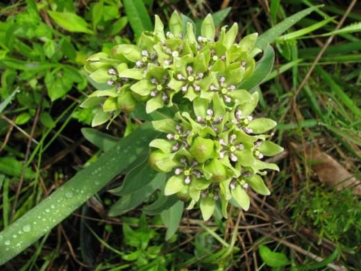 Native Antelopehorn Milkweed, Asclepias viridis