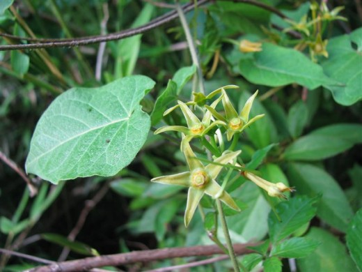 Angularfruit Milkvine is a native of the forest edges.
