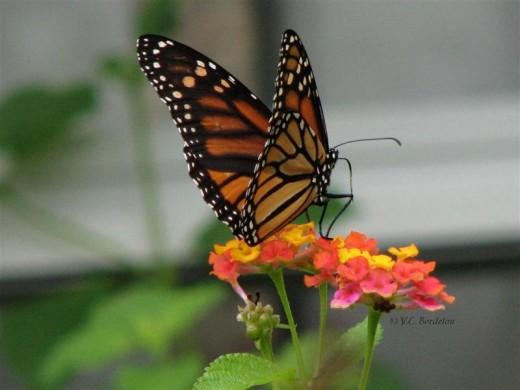 Many Butterflies love Lantana.