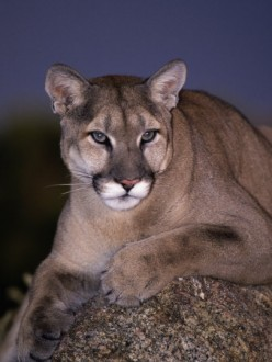 CONNETICUT MOUNTAIN LION