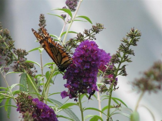 Buddleia davidii is one of the best butterfly nectar plants.