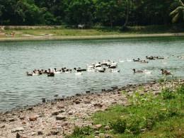 Ducks in Basisth Ganga